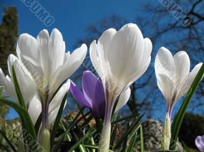Blooming white crocus