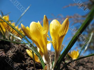 Blooming  yellow  crocus.