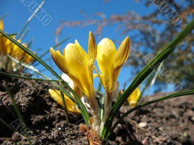 Blooming  yellow  crocus