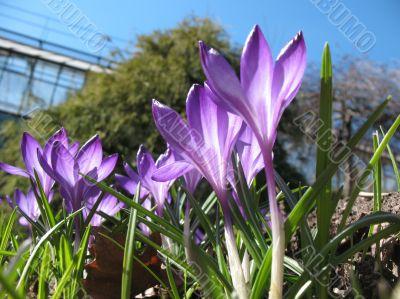 Blooming purple crocus.