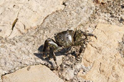 Adriatic Sea crab