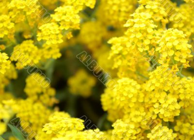 yellow, flowers, garden, border, holiday