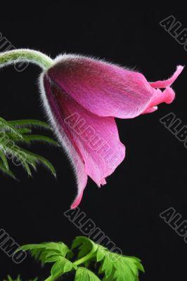 pink pasque flower Pulsatilla on a black background