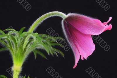 pink pasque flower Pulsatilla