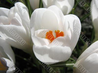 Blooming white crocus.