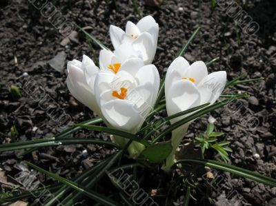 Blooming white crocus.