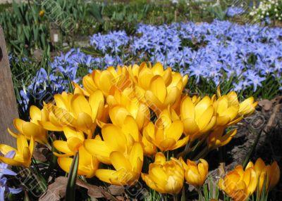 Blooming  yellow  crocus and Chionodoxa