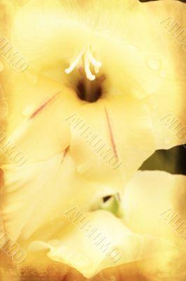 Yellow gladiolus on grunge texture