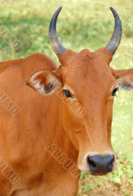 Portrait of the Sacred Cow