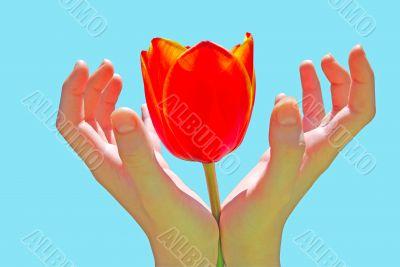 tulip in child hand