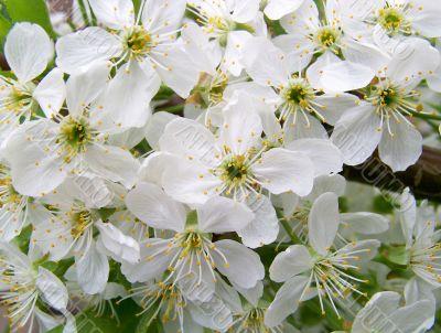 The Flowering tree.