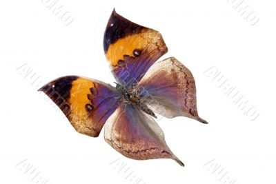 blue-yellow brilliant butterfly