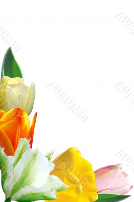 varicoloured tulips