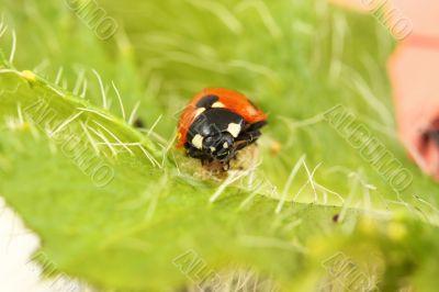 ladybird/ladybug on a bright green poppy leaf