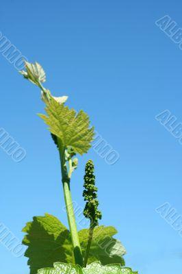 Grape vineyard in springtime