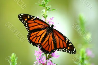 Feeding monarch butterfly