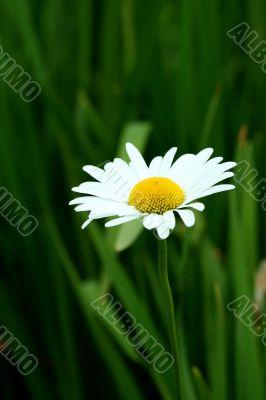 Bright white and yellow daisy