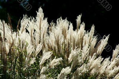 Backlit tall grassy plant