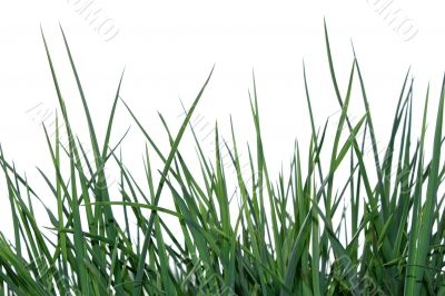Green grass isolated on the white