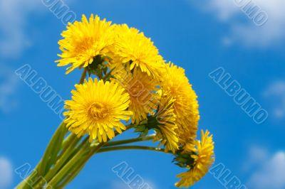 Bouquet of dandelion against the blue sky