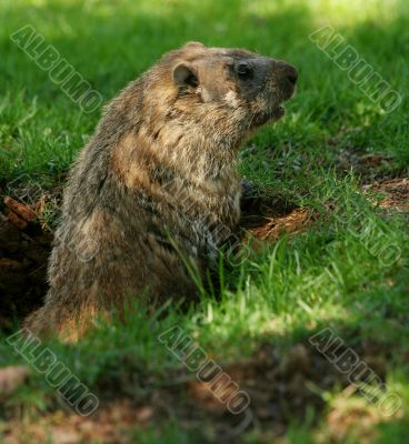 Groundhog popping out of his hole