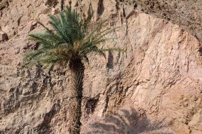 Lone Palm Tree in Israel