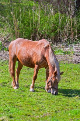brown horse in a green field of grass