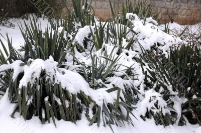 Southern Plants under Snow