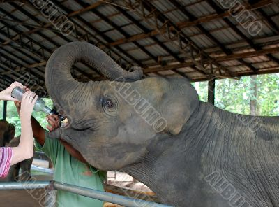 Feeding Baby Elephant