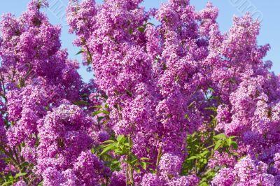 lilac bush  against the blue sky