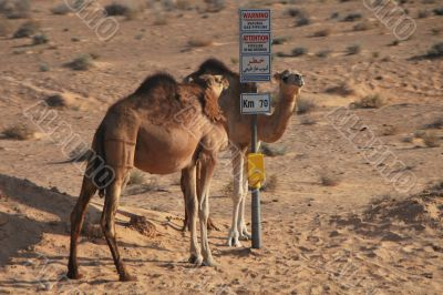 dromedary at signpost