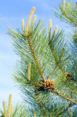 pine branch with a pinecone