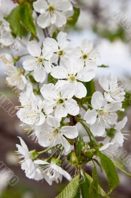 Blossoming branch of a sweet cherry
