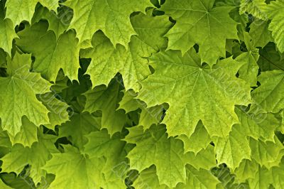 Young delicate leaves of maple