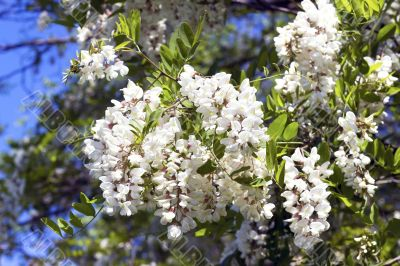 twig flowering acacia