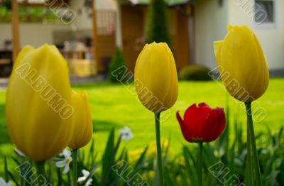 Tulips on a lawn