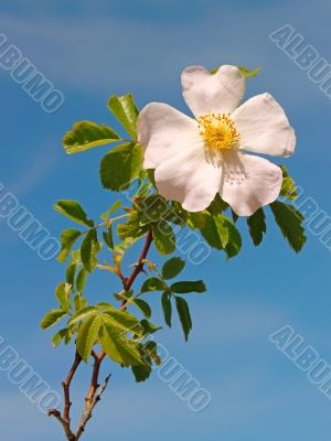 Light pink flower of wild rose