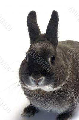 portrait of a dwarf rabbit
