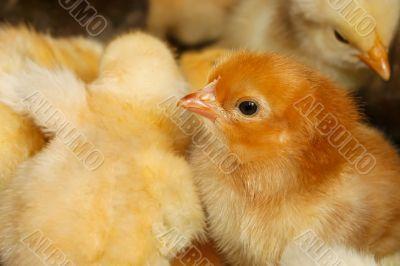 Portrait of small domestic chicken