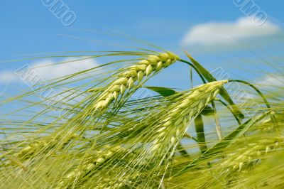 Barley spikelet on the field