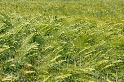 Barley field during flowering