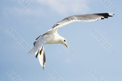 Flying seagull on blue sky background