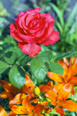 blooming red rose on a background of orange lilies