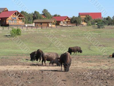 American Buffalos