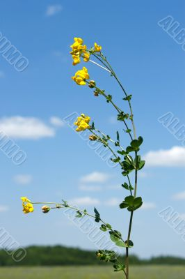 Field bean plant with yellow flowers