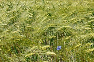 Barley field during flowering period