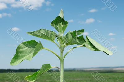 Young sunflower plant
