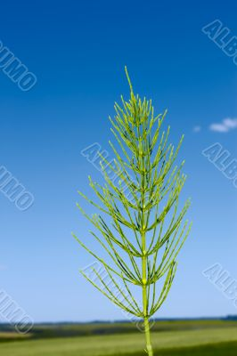 Field horsetail plant