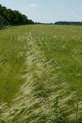 Barley field in flowering period