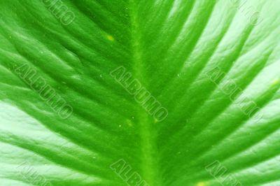 Large swamp plant leaf background